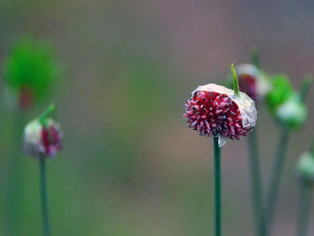 Цвітіння цибулі в саду