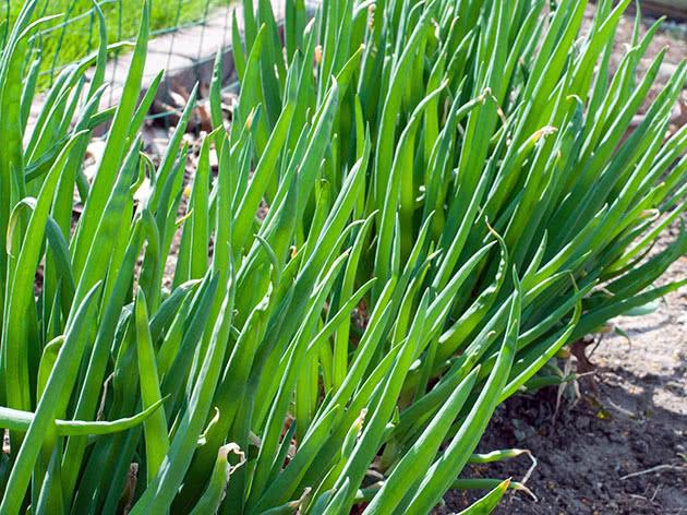 Як вирощувати цибулю на зелень у домашніх умовах