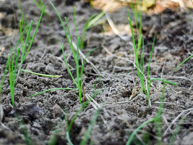 Вирощування розсади цибулі в домашніх умовах