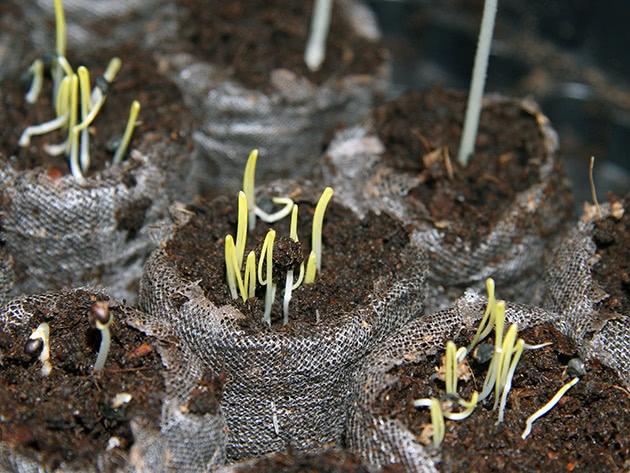 Як і коли саджати цибулю на розсаду
