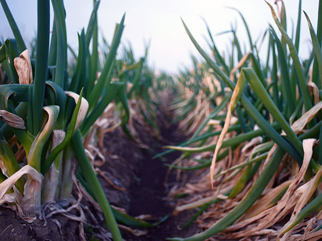 Посадка цибулі у відкритому ґрунті і як за нею доглядати