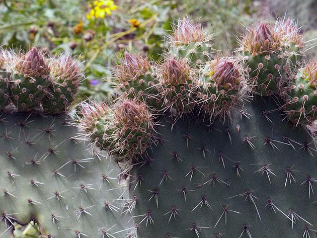 Опунція біловолоса (Opuntia leucotricha)