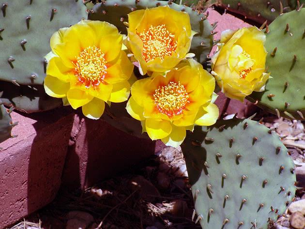 Опунція стиснута (Opuntia compressa)