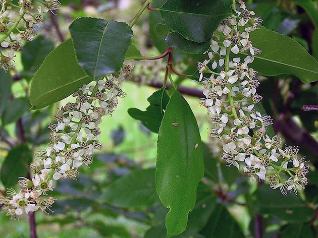 Черемха пізня (Padus serotina)