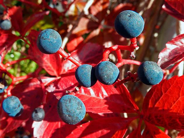Види і сорти дівочого винограду