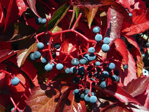 Дівочий виноград п'ятилисточковий (Parthenocissus quinquefolia)