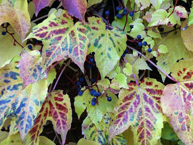 Дівочий виноград тригострокінцевий (Parthenocissus tricuspidata)