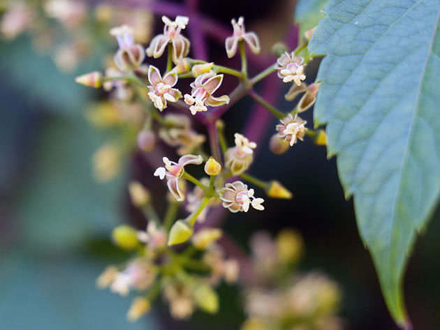 Девичий виноград прикрепленный (Parthenocissus inserta)