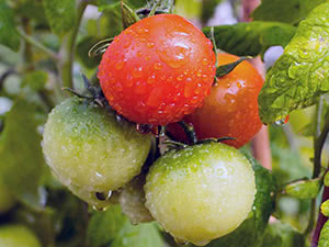 Пасльонові рослини – особливості вирощування