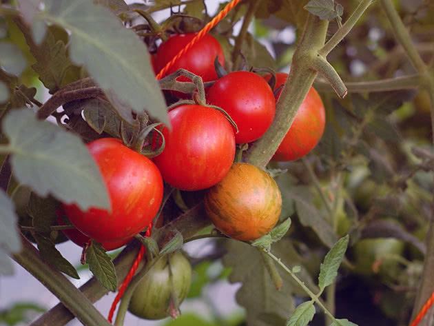 Помідори, або томати (лат. Solanum lycopersicum)