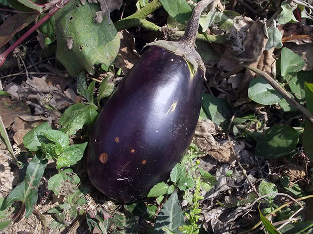 Баклажан, або паслін темноплідний (лат. Solanum melongena)