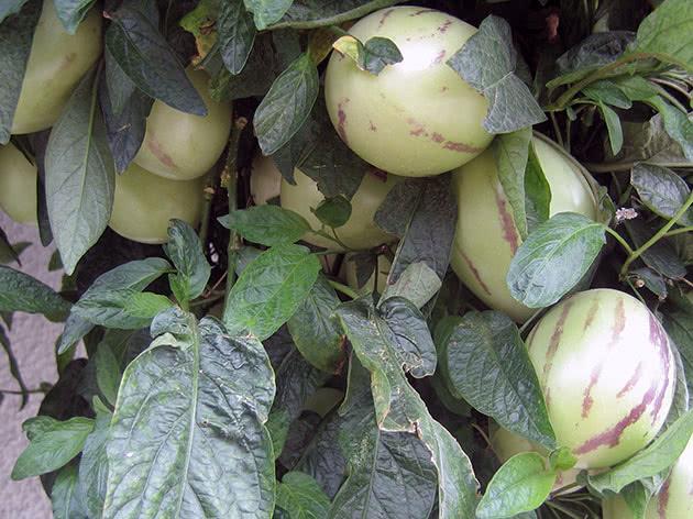 Динна груша (лат. Solanum muricatum)