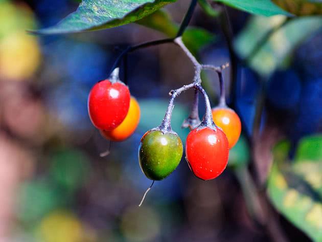 Паслін солодко-гіркий (лат. Solanum dulcamara)
