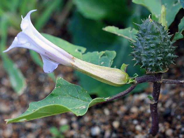 Дурман звичайний (лат. Datura stramonium)