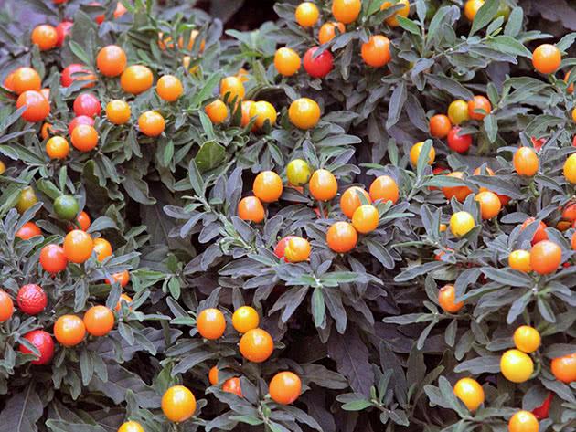 Паслін декоративний (лат. Solanum pseudocapsicum)