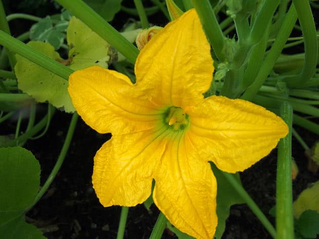 Цвітіння куща патисона