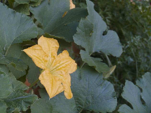Квітучий кущ патисона на садовій ділянці
