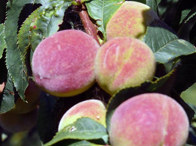 Плоди персика – персики