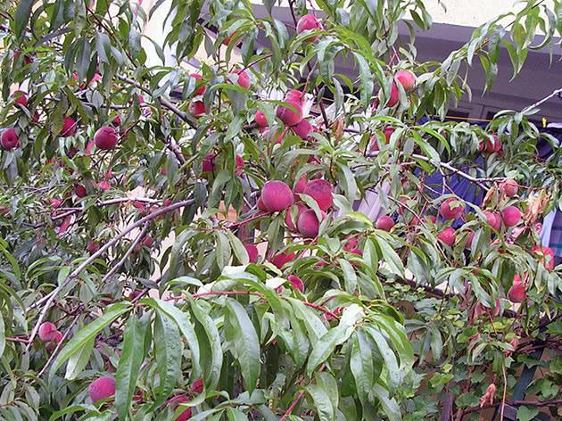 Дерево персика плодоносить у саду