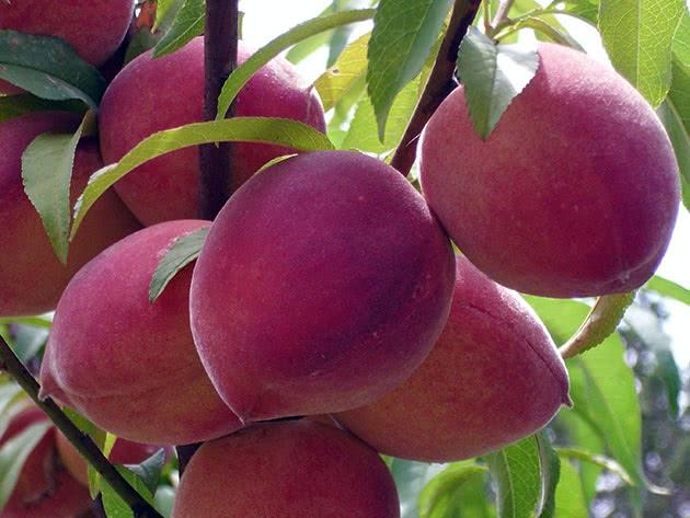 Стиглі персики на гілці