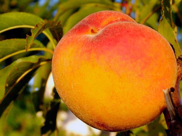Посадка і догляд за персиком у саду