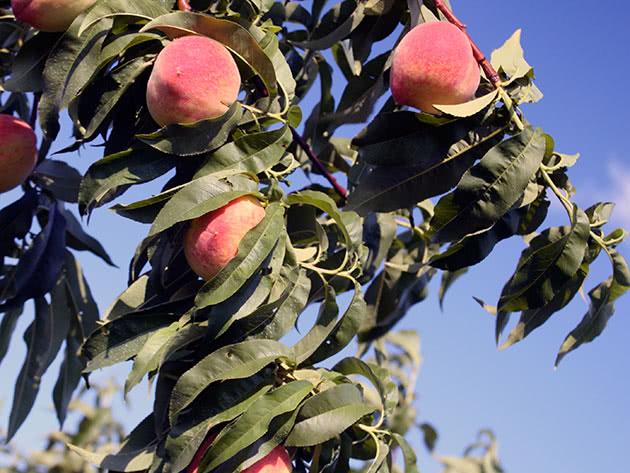 Вирощування персиків у саду