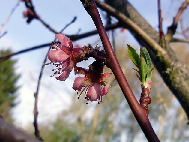 Як цвіте персик