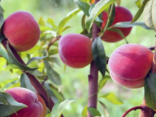 Стиглі персики на гілці дерева в саду