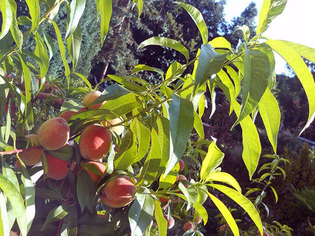 Як саджати і доглядати за персиком