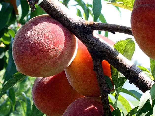 Вирощування персиків на садовій ділянці