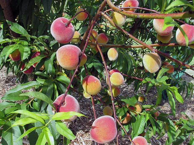 Багатий врожай персиків