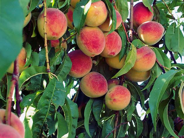 Як саджати і вирощувати персики