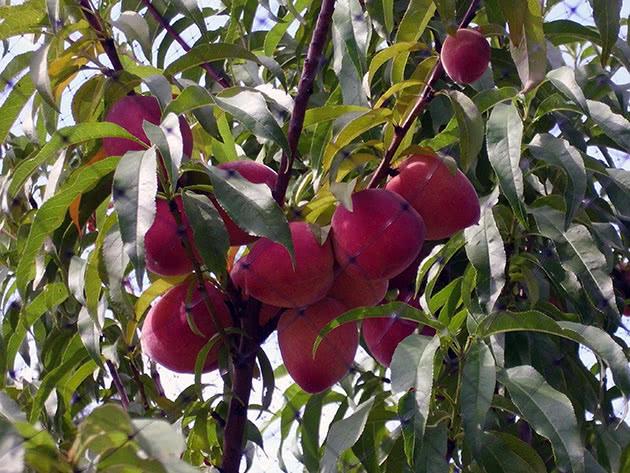 Персики – посадка і догляд