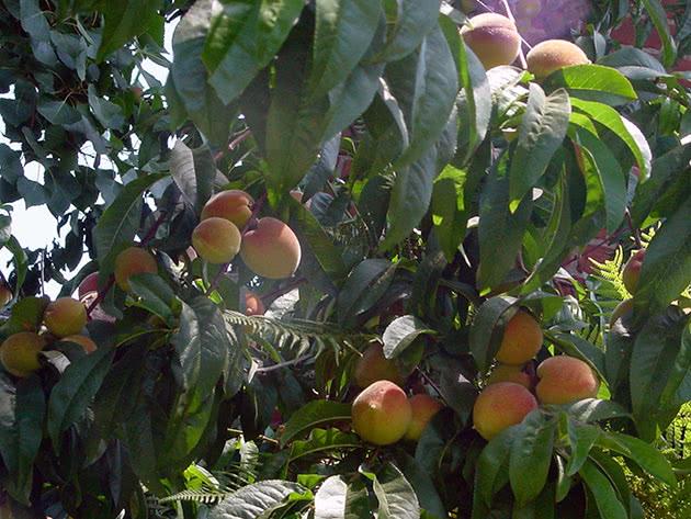 Догляд за персиками на садовій ділянці