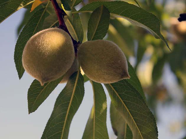 Зелені персики на дереві