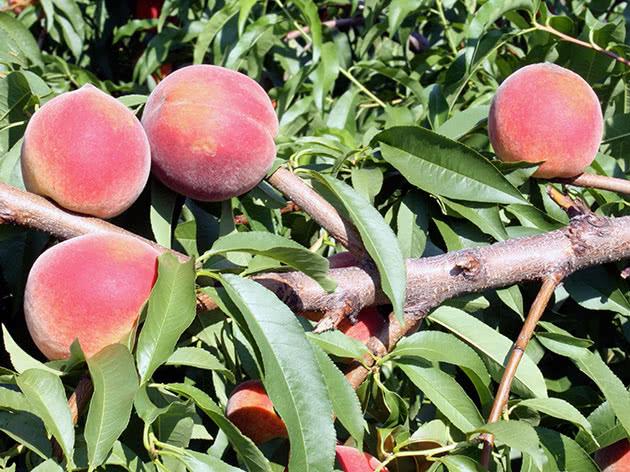 Персики після збору врожаю