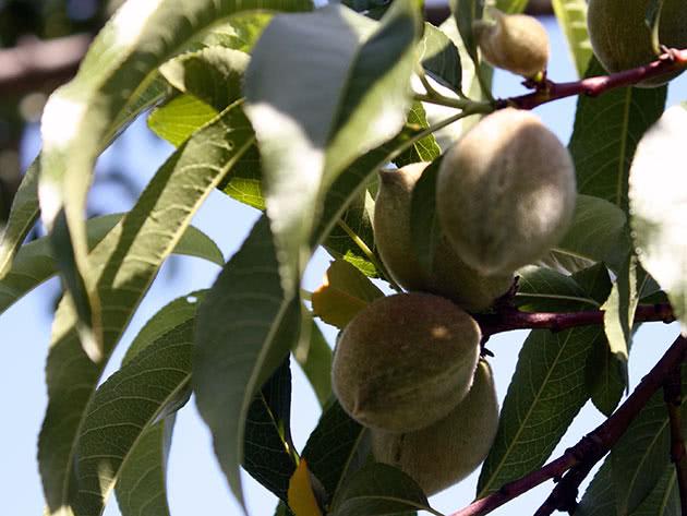 Недостиглі персики на гілці в саду