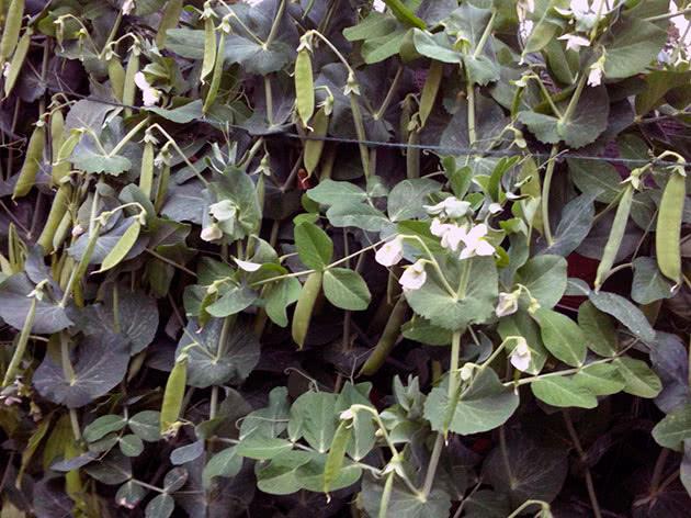 Як садити і доглядати за горохом