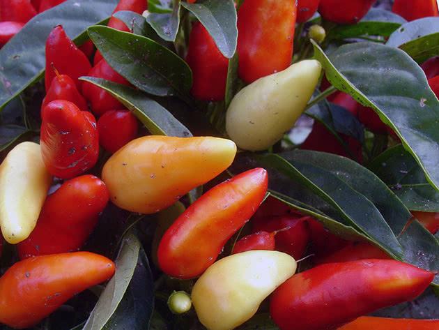 Выращивание острого перца чили из семян