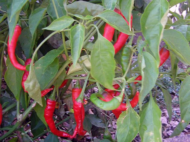 Как выращивать острый перец в теплице