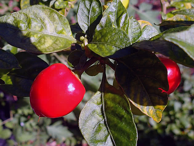 Как вырастить острый перец из семян рассадой