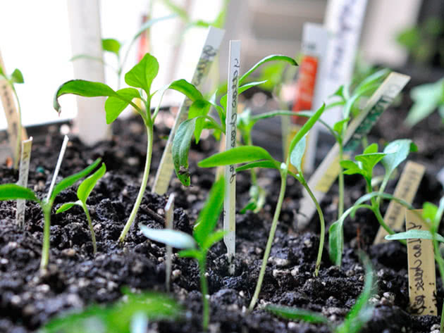 Как выращивать рассаду перца