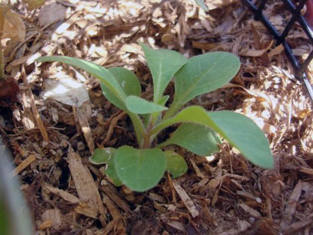 Вирощування розсади петунії в домашніх умовах