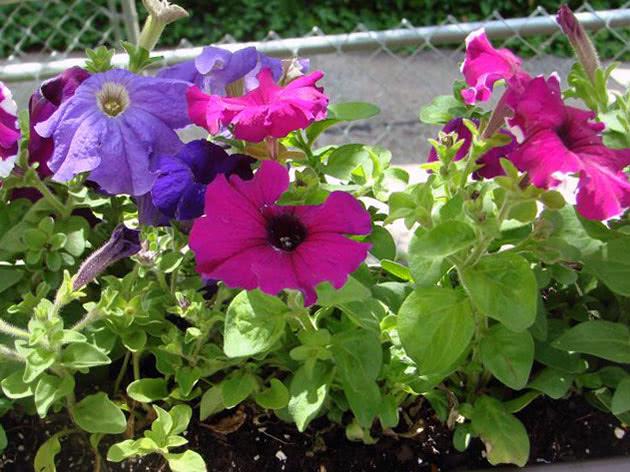 Квітуча петунія вирощена з розсади