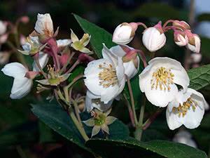 Рослина чубушник