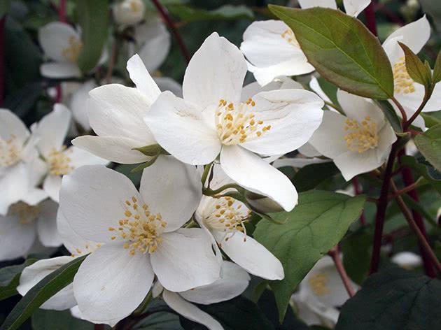 Кустарник чубушник или садовый жасмин