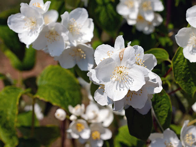 Куст чубушника садового