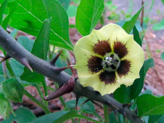 Фізаліс родзинковий (Physalis pubescens)