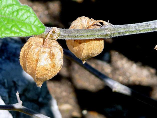 Фізаліс перуанський (Physalis peruviana)