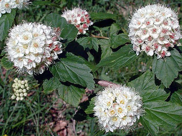 Пухироплідник амурський / Physocarpus amurensis